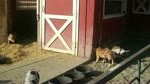 FUNNY! PIGLETS PLAYING WITH A SYNTHETIC ROPE IN THE LITTLE FARM