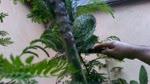 Cortando nopales en California
