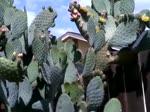 PLANTA DE XOCONOSTLE YA EMPEZO A FLOREAR AQUI EN CALIFORNIA