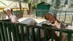 Baby Was Adorared By Feeding Family Hippo