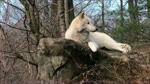 Wolves. -