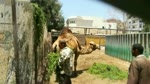 African Camel Enjoys His Stay In Zoo Morning Daily Grass
