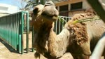 Baby Feeds Hungry Camel In Zoo