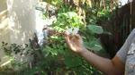 Como Polenizar Manualmente los Calabacines Opo (opo squash)