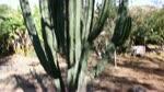 El Pitayo, Una del Las Cactáceas Mas Preciadas en Mexico Por Su Fruto
