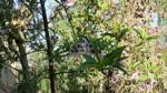 Durazno de variedad Temprana ya Esta Floreando en La primer Semana de Febrero