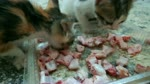 little kitties Love Eats Chicken Bones