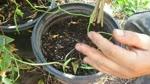 Como Enraizar (Clonar) una Planta de Granada sin Quimicos