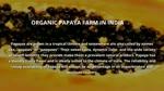 Papaya farming Benefits,Nutrition & cultuivation - Niche Agriculture
