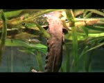 Schlammteufel (Cryptobranchus alleganiensis) hellbender salamander - Exotarium Zoo Frankfurt a.M. 2009