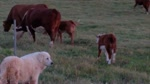Raising Cow Calves and Thelma Naturally and Humanely
