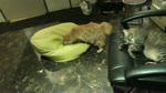 """A somnolent cat cafe documentary Ep.13 """"Amorous affairs among hairballs"""""""