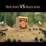 Red Ants vs The Black Ants