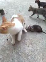 Cat vs mouse fight